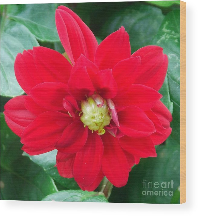 Red Flower Wood Print featuring the photograph Summer Flower by Annette Allman