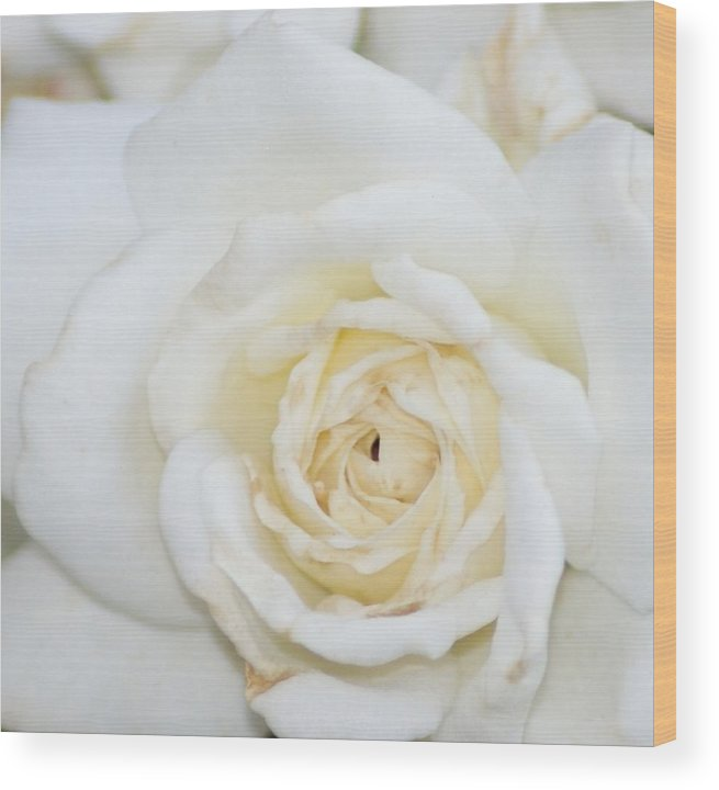 Flower Wood Print featuring the photograph White Rose by Liz Vernand