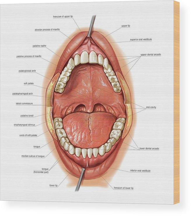 Oral Cavity Wood Print by Asklepios Medical Atlas