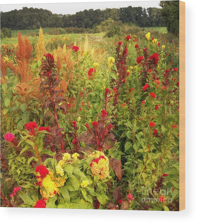 Celosia Wood Print featuring the photograph Celosia Garden by Chris Scroggins