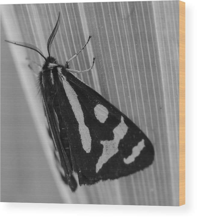 Moth Wood Print featuring the photograph Moth Bw Macro by Kevin Buffington
