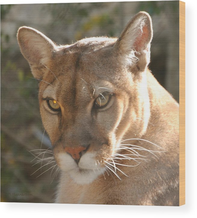 Puma Wood Print featuring the photograph Puma Closeup by DiDi Higginbotham