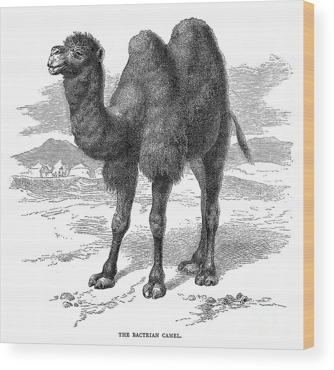 19th Century Wood Print featuring the photograph Bactrian Camel by Granger