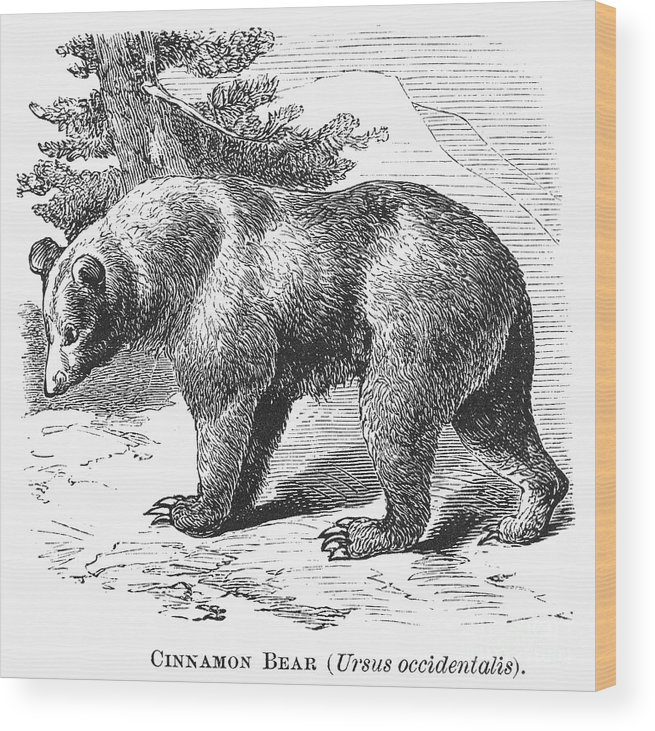 19th Century Wood Print featuring the photograph Cinnamon Bear by Granger