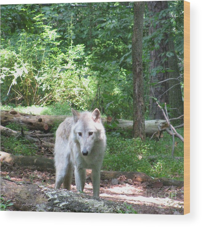 A Walk In The Forest Wood Print featuring the photograph The Wild Wolve Group A by Debra   Vatalaro