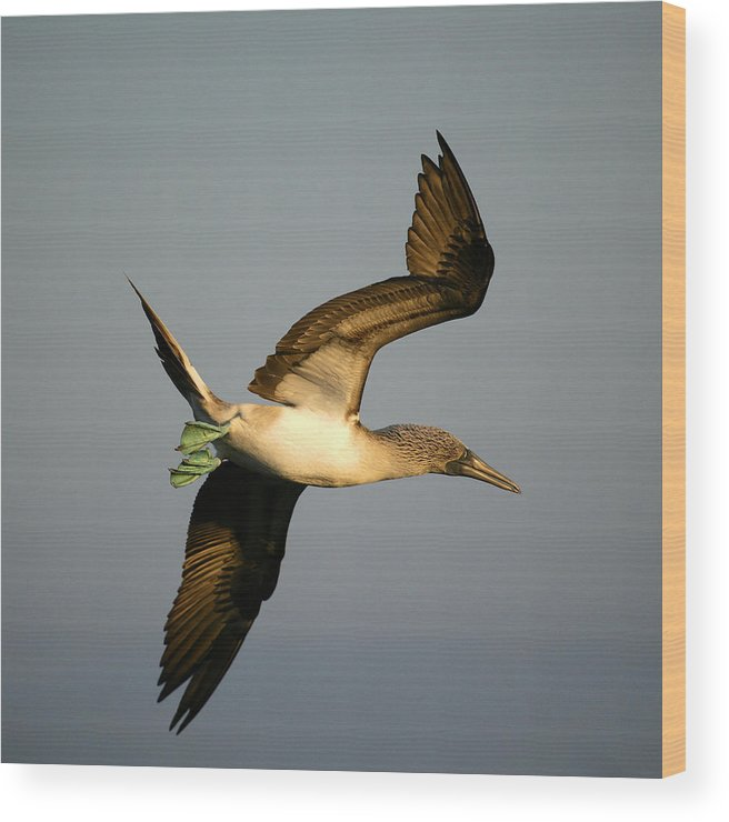 Animal Themes Wood Print featuring the photograph Blue-footed Booby, Sula Nebouxii, Santa by David Santiago Garcia