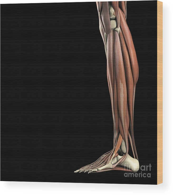 3d Model Wood Print featuring the photograph The Muscles Of The Lower Leg by Science Picture Co