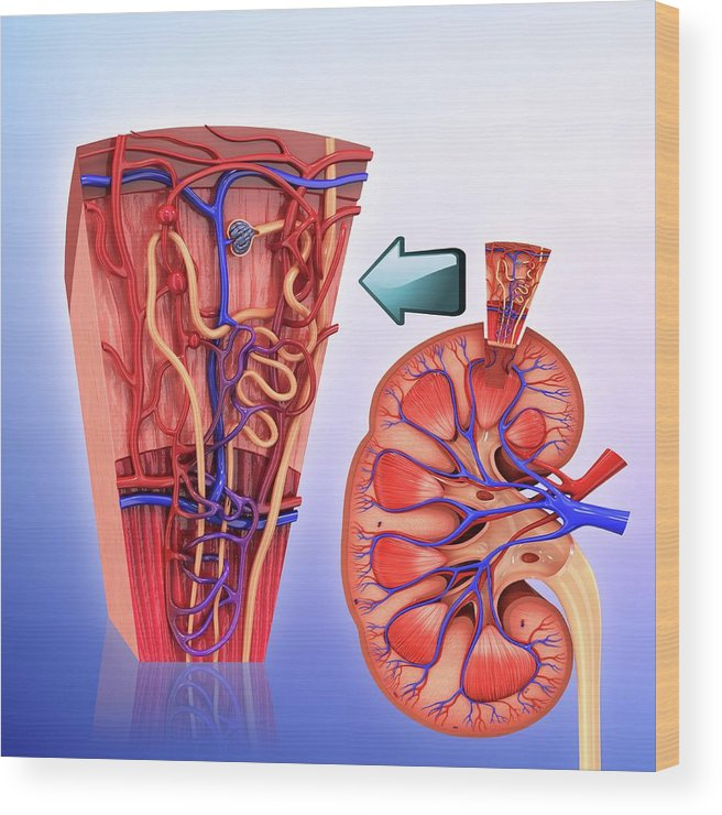 Human Kidney Nephron Wood Print By Pixologicstudio