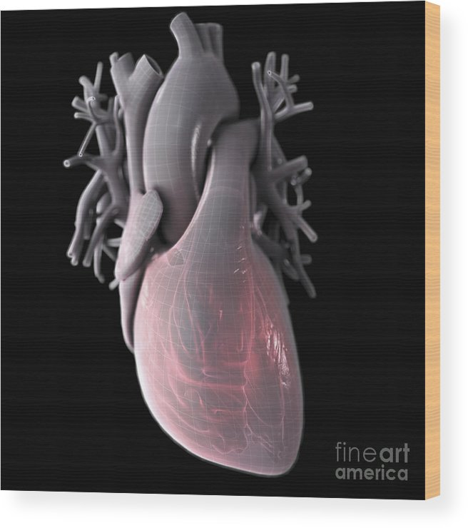 Right Ventricle Wood Print featuring the photograph Heart Anatomy by Science Picture Co