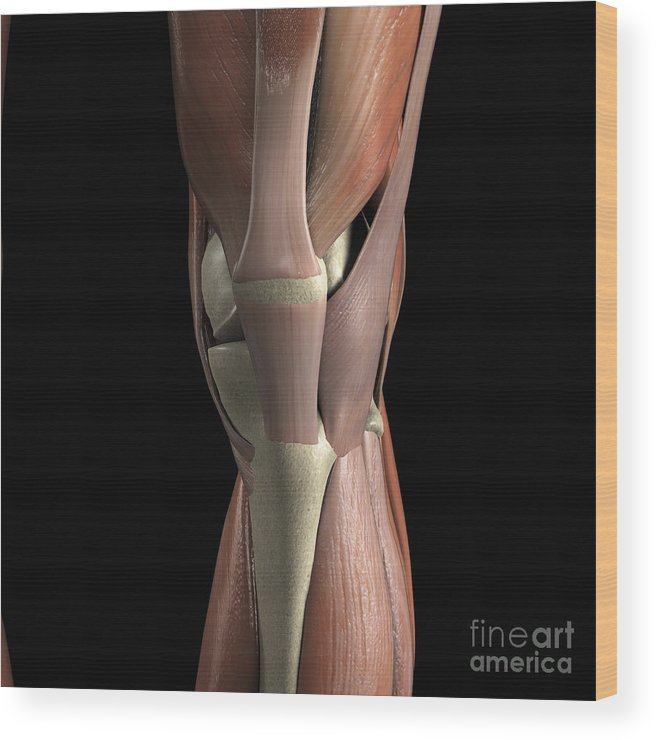 3d Visualisation Wood Print featuring the photograph Muscles Of The Knee by Science Picture Co