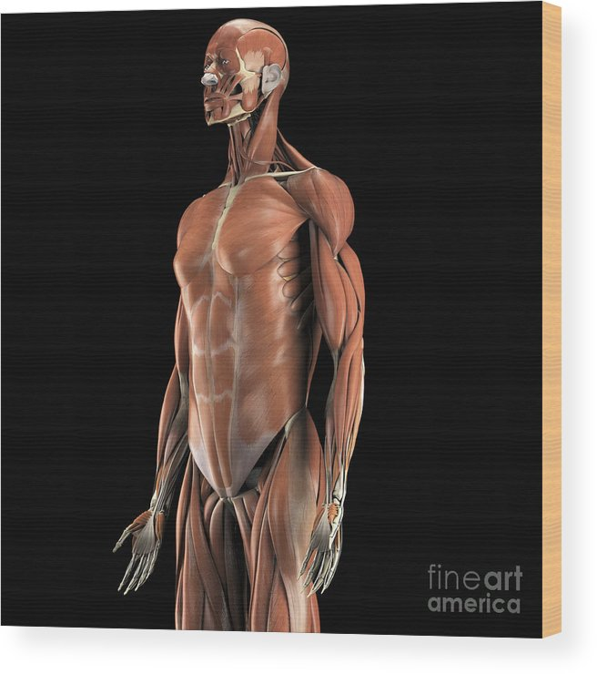 Biomedical Illustration Wood Print featuring the photograph The Muscles Of The Upper Body by Science Picture Co