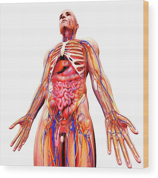 Artwork Wood Print featuring the photograph Male Anatomy by Pixologicstudio/science Photo Library