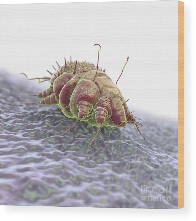 Close-up Wood Print featuring the photograph Scabies Mite by Science Picture Co