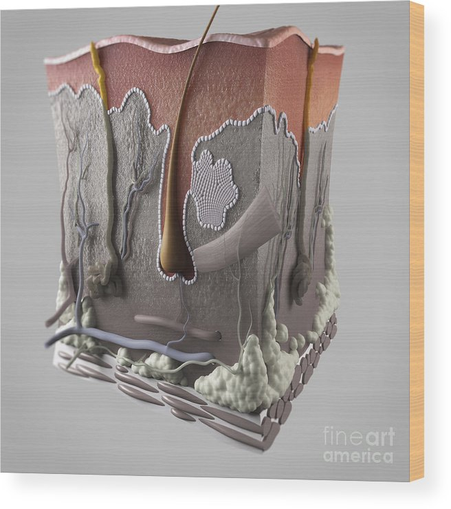 3d Visualisation Wood Print featuring the photograph Anatomy Of Human Skin by Science Picture Co