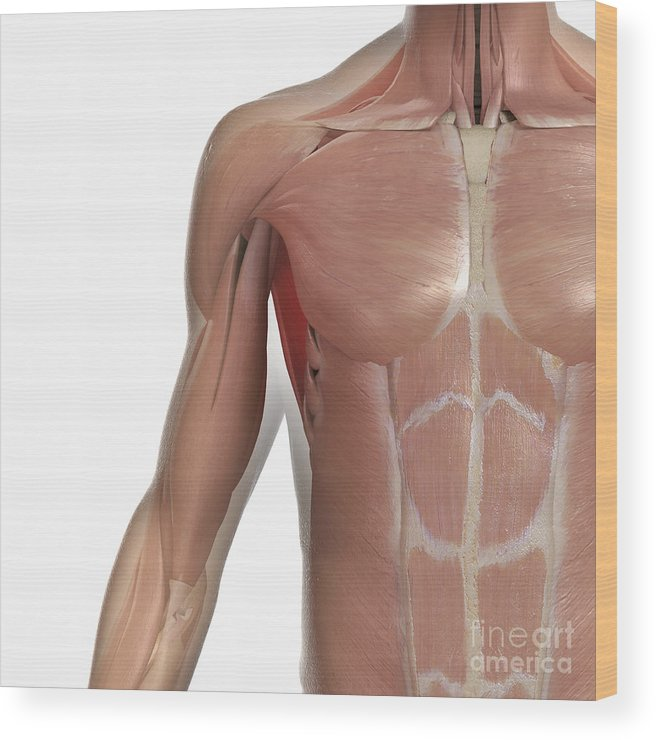 Transparent Wood Print featuring the photograph Muscles Of The Upper Body by Science Picture Co