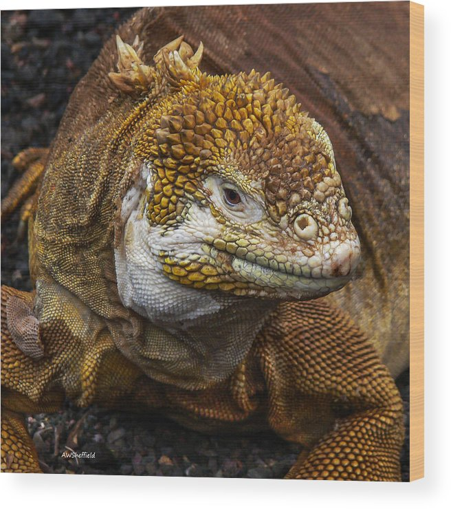 Galapagos Wood Print featuring the photograph Galapagos Land Iguana by Allen Sheffield