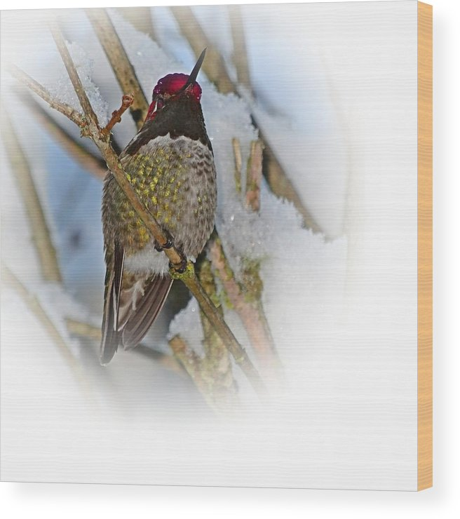 Humming Bird Wood Print featuring the photograph Humming Bird And Snow 4 by Nick Kloepping