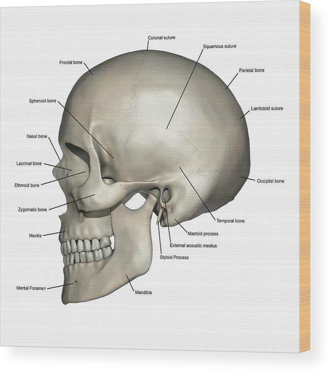 Lateral View Of Human Skull Anatomy Wood Print By Alayna Guza