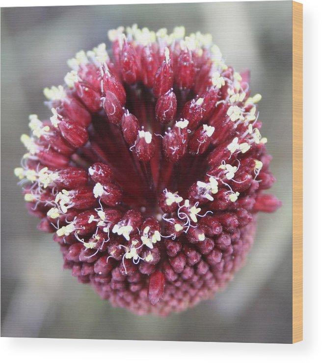Allium Sphaerocephalon Wood Print featuring the photograph Macro Of Round-headed Leek Flower Allium Sphaerocephalon by Taiche Acrylic Art