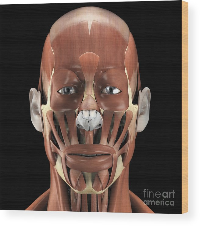 Muscular System Wood Print featuring the photograph Muscles Of The Face by Science Picture Co