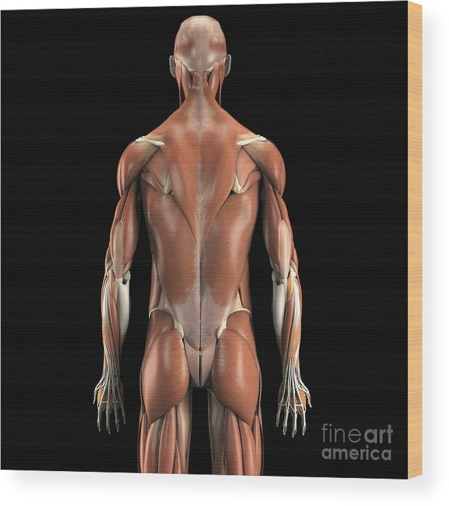 Biomedical Illustration Wood Print featuring the photograph Muscles Of The Upper Body Rear by Science Picture Co