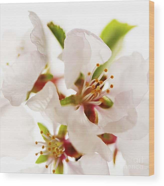 Blossom Wood Print featuring the photograph Pink Blossom by Elena Elisseeva