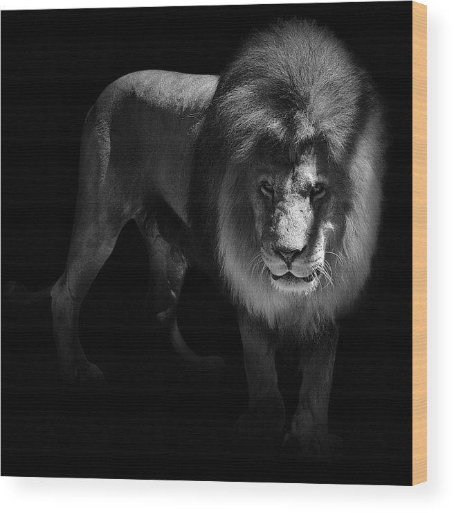 Lion Wood Print featuring the photograph Portrait Of Lion In Black And White by Lukas Holas