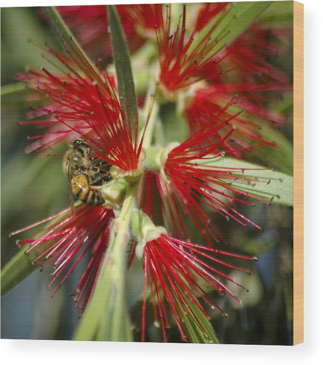 Bottlebrushes Wood Print featuring the photograph The Bee And Bottlebrush by Carolyn Marshall