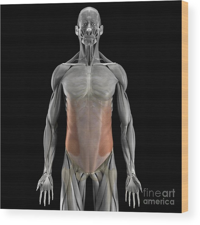 3d Visualisation Wood Print featuring the photograph The External Oblique Muscles by Science Picture Co