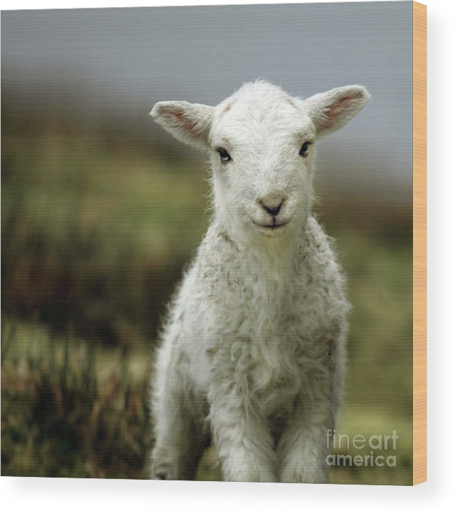 Wales Wood Print featuring the photograph The Lamb by Angel Ciesniarska
