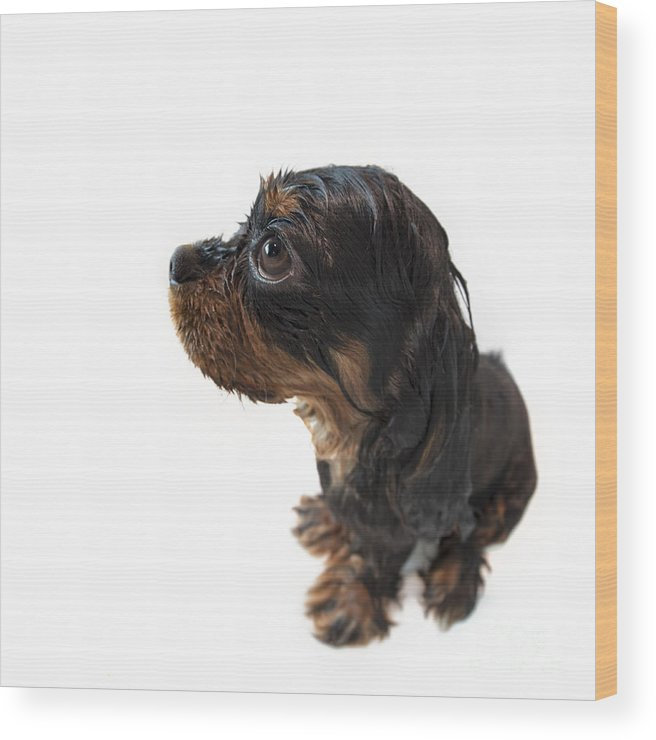 Adorable Wood Print featuring the photograph Wet Marmaduke Fisheye by Jane Rix
