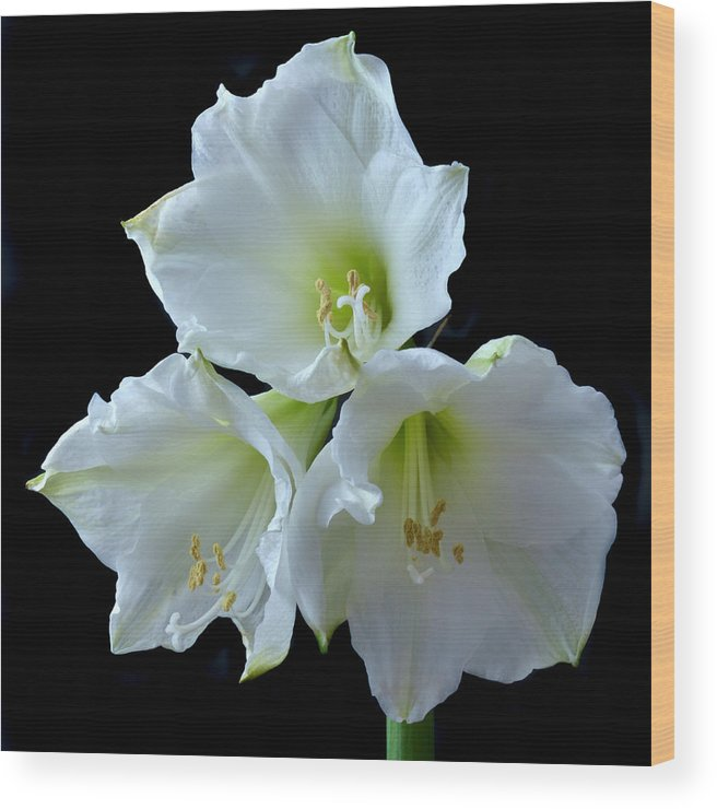 Amaryllis Wood Print featuring the photograph White Amaryllis by Terence Davis