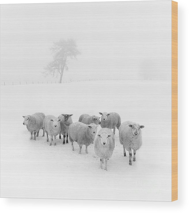 Sheep In Winter Wood Print featuring the photograph Winter Woollies by Janet Burdon