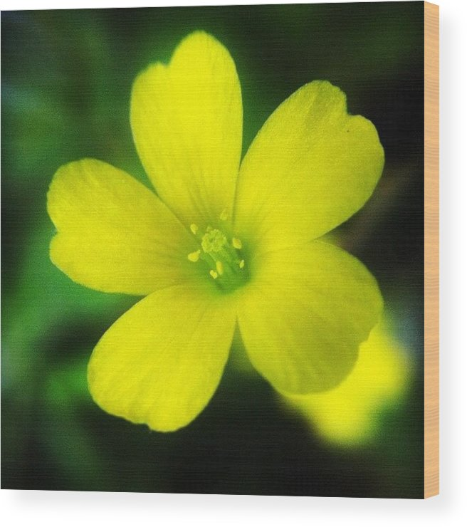 Lucerne Yellow Alfalfa Flower Wood Print By Jason Fang