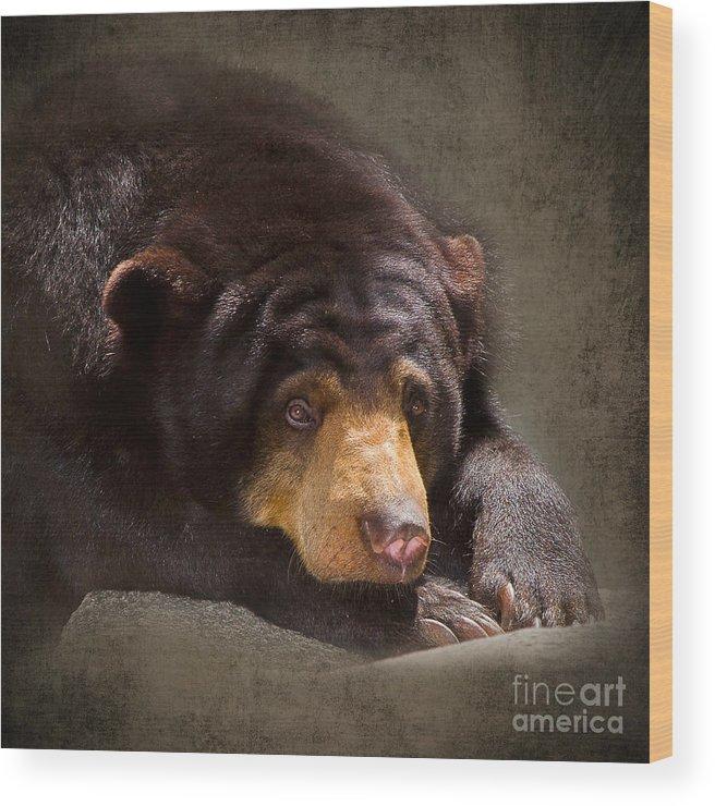 Sun Bear Wood Print featuring the photograph Sad Sun Bear by Louise Heusinkveld