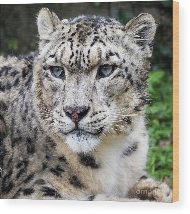 Leopard Wood Print featuring the photograph Adult Snow Leopard Portrait by Jane Rix