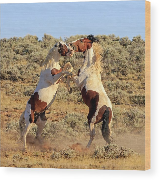 Wild Horses Wood Print featuring the photograph Battle Of The Paints by Jack Bell