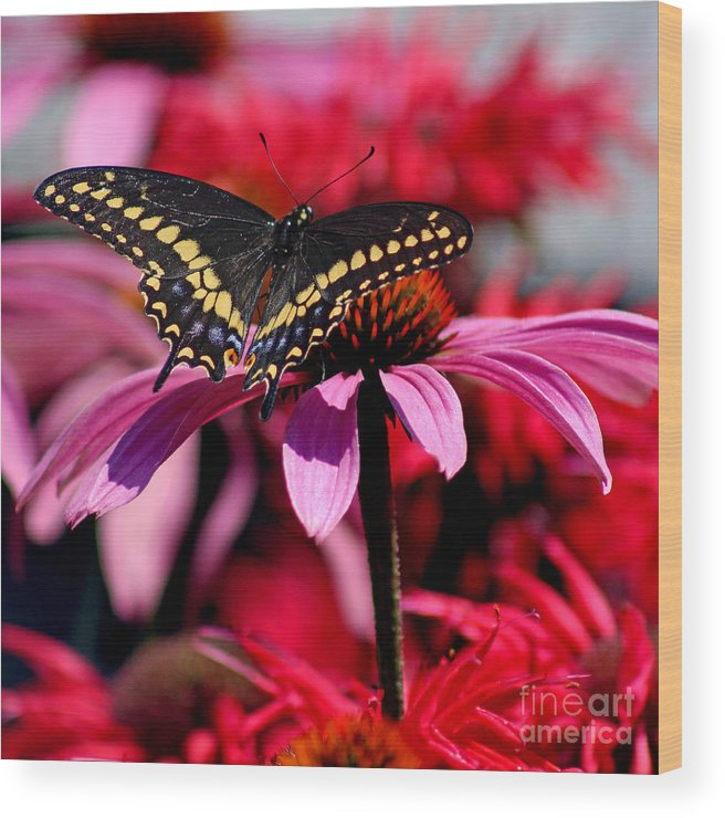 Insect Wood Print featuring the photograph Black Swallowtail Butterfly On Coneflower Square by Karen Adams