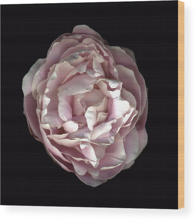 Scanography Wood Print featuring the photograph Blush Peony by Deborah J Humphries