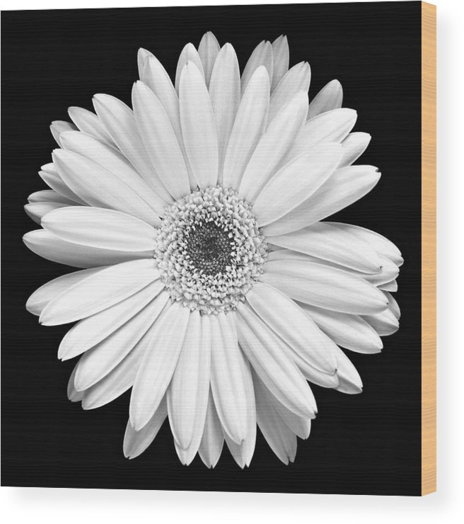 Gerber Wood Print featuring the photograph Single Gerbera Daisy by Marilyn Hunt