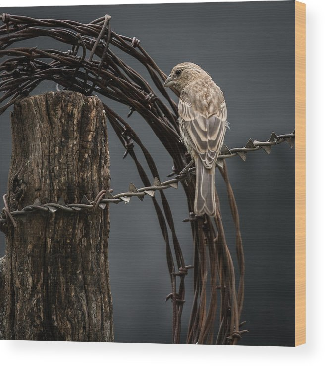 Birds Wood Print featuring the photograph Mama House Finch by Larry Pacey