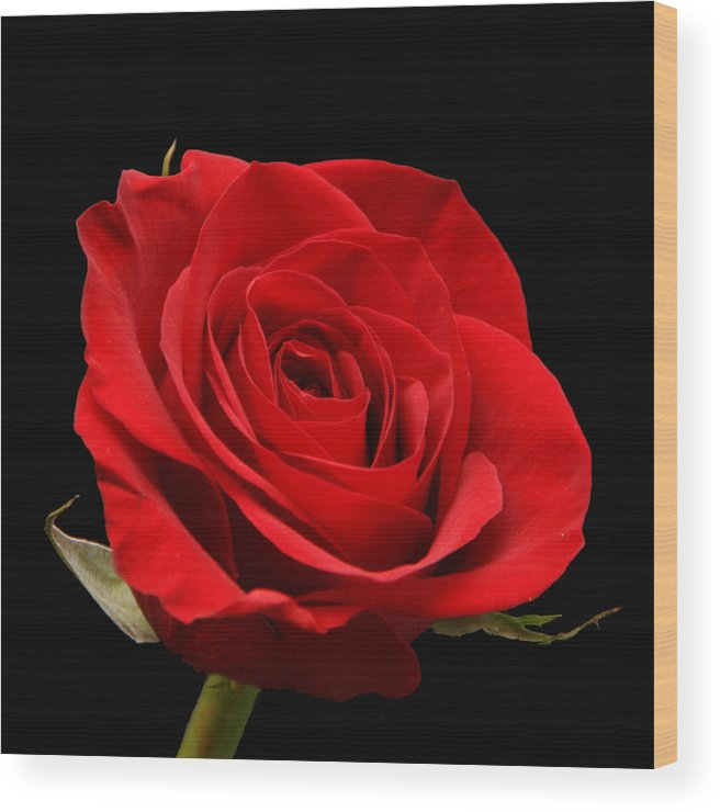 Red Wood Print featuring the photograph Red Rose On Black 1 by George Jones