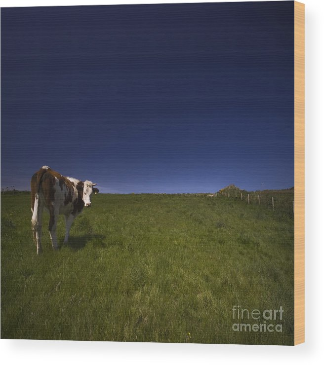 Cow Wood Print featuring the photograph The Moody Cow by Angel Ciesniarska