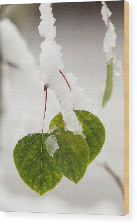 Aspen Wood Print featuring the photograph Spring Snow On Aspen by Paul Conrad