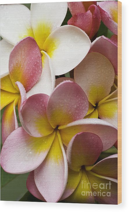 Pink Frangipani Wood Print featuring the photograph Pink Frangipani by Sheila Smart Fine Art Photography