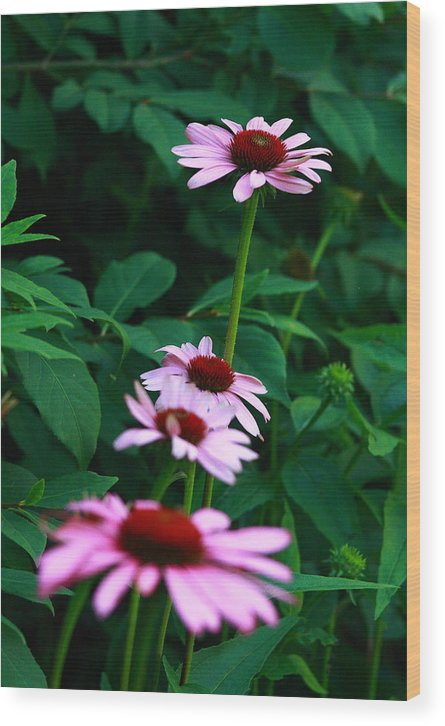 Nature Photo Wood Print featuring the photograph African Daisies 4 by Vivian Cosentino