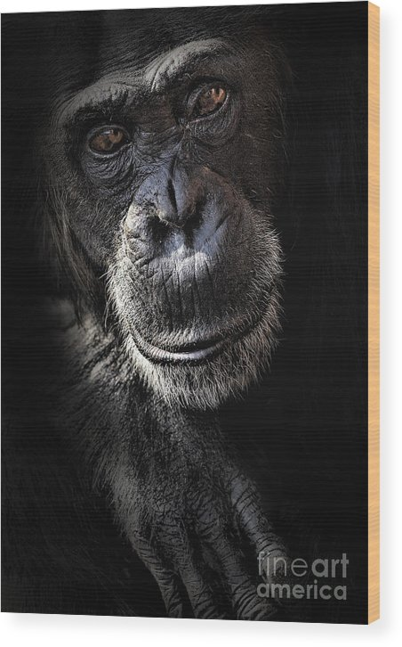 Chimp Wood Print featuring the photograph Portrait Of A Chimpanzee by Sheila Smart Fine Art Photography