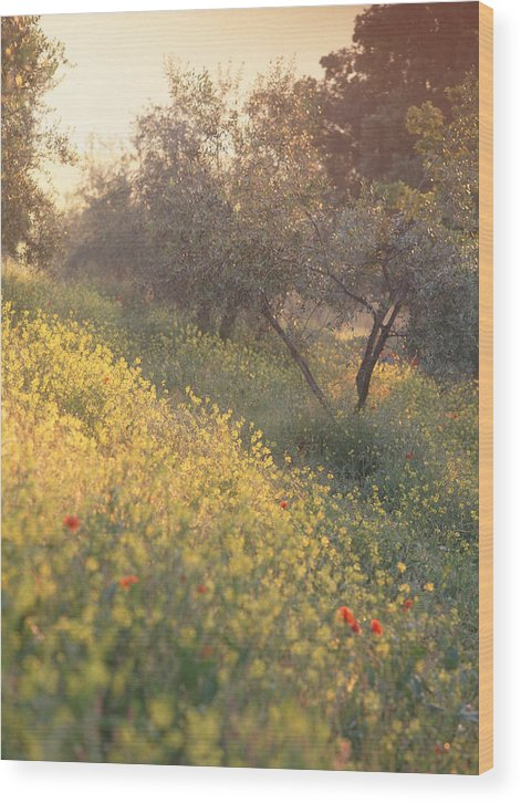 Tuscany Wood Print featuring the photograph Olive Grovetuscany by Michael Hudson