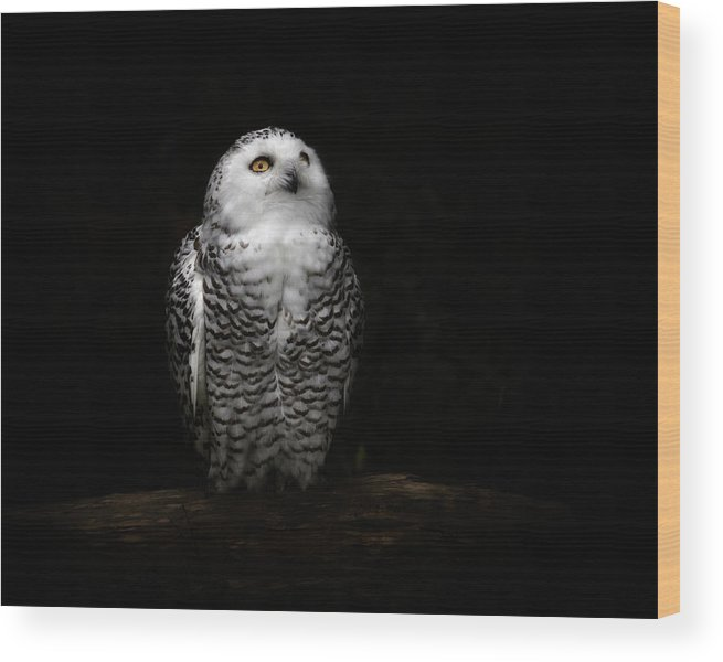 Animal Themes Wood Print featuring the photograph An Owl by Kaneko Ryo
