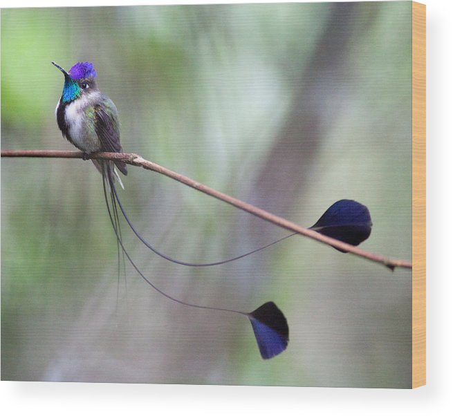 Marvelous Spatuletail by Max Waugh